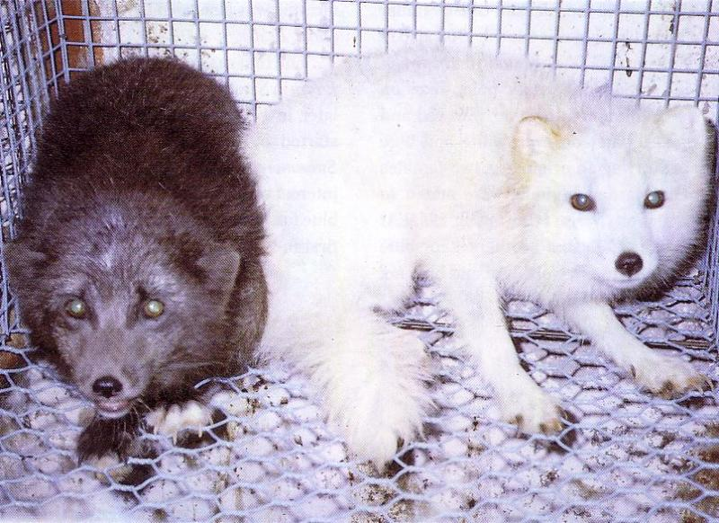 Are These Arctic Fox Or Red Fox Color Phases Page 5